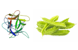 Psophocarpus tetragonolobus Lectin (PTL/PTA II)