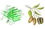 Griffonia simplicifolia (GSL)